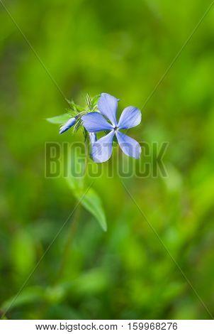 Beautiful lonely wild flower (Vinca minor) .