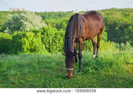 Lonely horse grazing on a spring pasture at evening time.