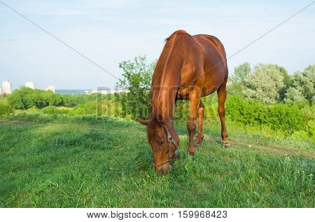 Chestnut horse grazing on a spring pasture at evening time.