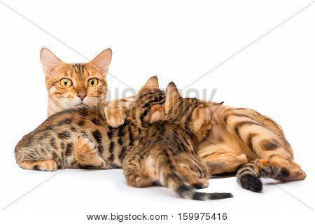 Watchful Mother Cat Feeding Her Kittens Milk