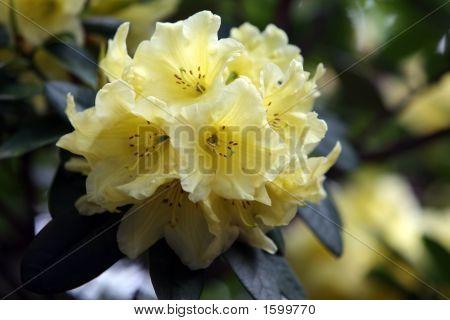 Yellow Rhody