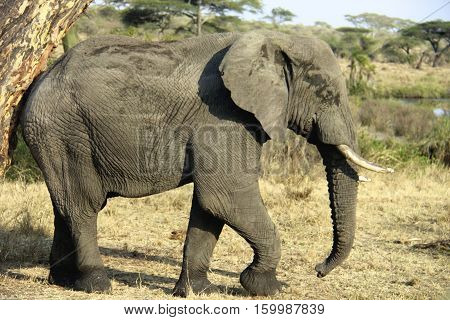 elephant in ruaha national park, tanzania, Africa