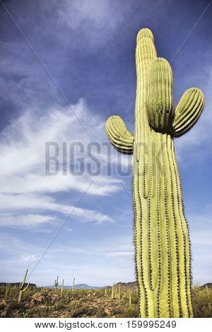 Saguaro cactus in desert