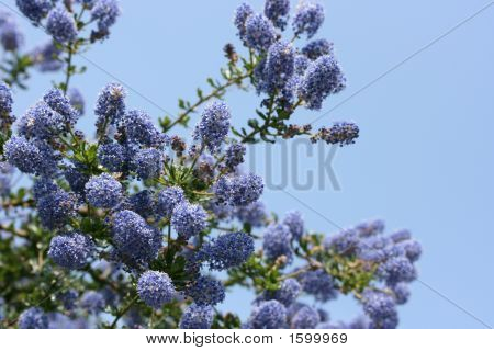 Ceanothus In Bloom!