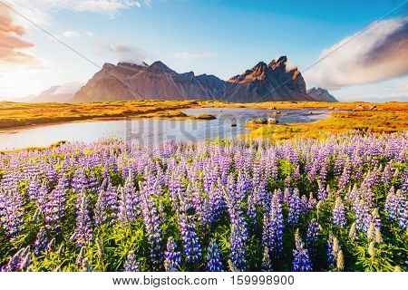 Majestic lupine flowers glowing by sunlight. Gorgeous scene. Location famous place Stokksnes cape, Vestrahorn (Batman Mount), Iceland, Europe. Beauty world. Instagram toning effect. Soft filter.
