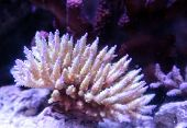 Pink tipped staghorn Acropora coral in a saltwater reef aquarium poster