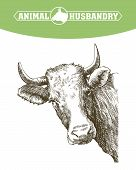 sketch of cow drawn by hand on a white background. livestock. cattle. animal grazing poster