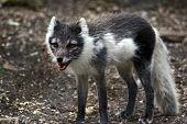 arctic fox shedding its white winter coat poster