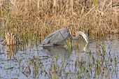 Great Blue Heron Searching for Prey in the Cameron Prairie National Wildlife Refuge in Louisiana poster