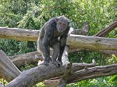 This photo shows a chimpanzee balancing on a pole. poster