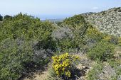 Garrigue habitat above Smigies with view to west coast of Akamans Peninsula Cyprus Spiny Broom - Calycotome villosa poster