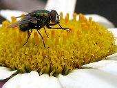 A Fly is standing on a flower with his hands together collecting pollin poster