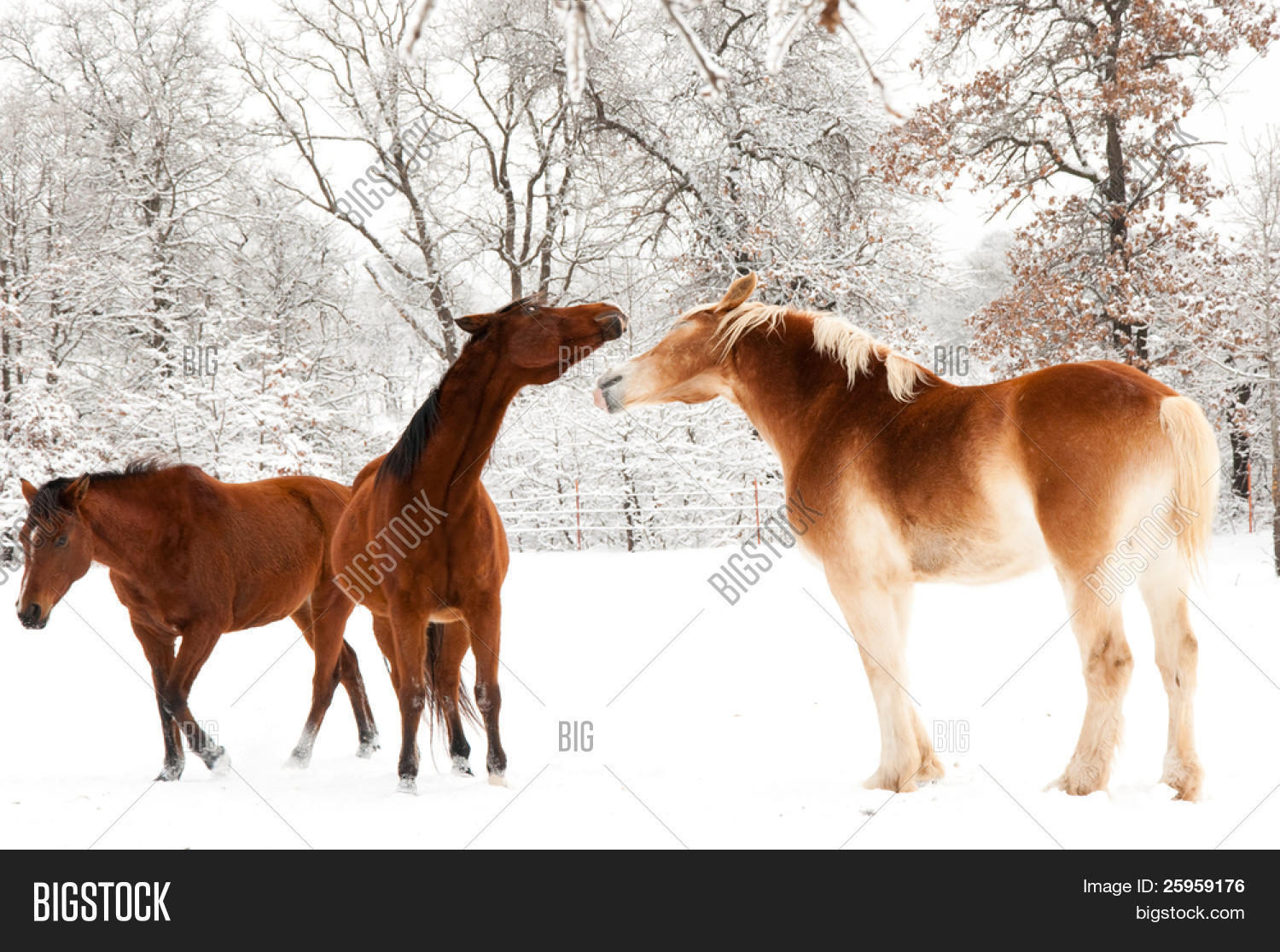 Two Horses Playing Image Photo Free Trial Bigstock