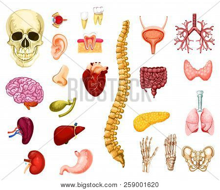 Human Organs, Joints And Bones Icons Anatomy. Vector Isolated Brain, Heart Or Lungs And Liver With S