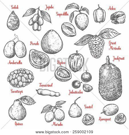 Exotic Tropical Fruits Sketch. Vector Isolated Salak, Jujube Or Sapodilla And Ackee Fruit With Great
