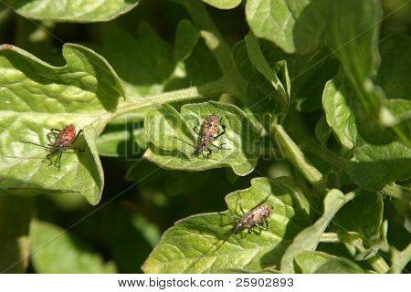stink bugs in diffrent stages of life cycle and lady bugs live on my tomato plants