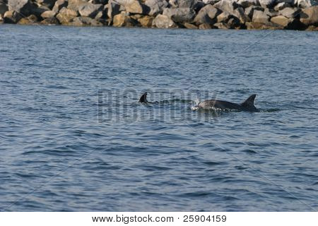 """Common Dolphin""  ""Delphinis delphis"" lives, swims and plays off the coast of ""dana point"" california poster"