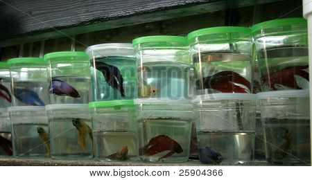 beta fish, aka Siamese fighting fish in separate containers for sale in a pet shop