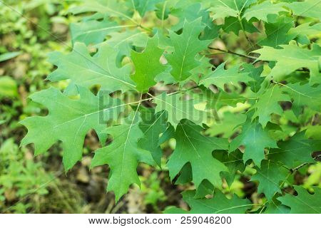 Green Leaves And Branches Of Young Oak