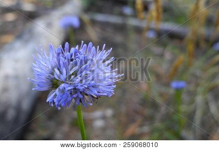 A Blue-violet Meadow Flower Knautia Arvensis, Grown On A Glade Of Pine-deciduous Forest. Against The