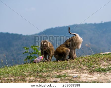 Monkeys Or Macaque Stole And Drinking Sweet Water From A Plastic Bottle In Khao Yai National Park, T