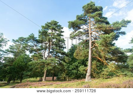 Forest High Pine Trees Nature Landscape. Pine Trees Forest.n Nature Reserve Concept. Weather Changes