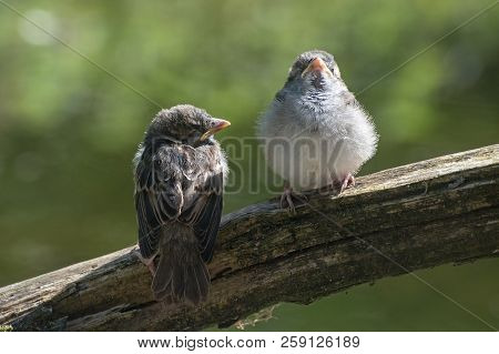 Two Young Fledgling House Sparrows (passer Domesticus), Cute Baby Birds On A Branch Against A Blurry