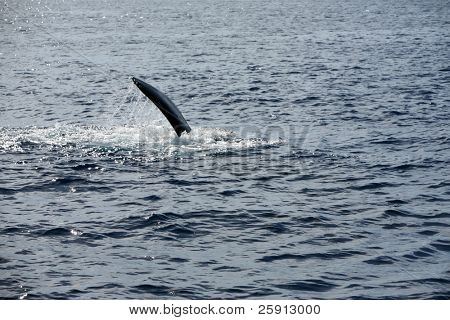 """a """"Humpback Whale"""" """"Megaptera novaeangliae"""" peck slaps the water as it enjoys life in the warm waters of Maui in the Hawaiian island chain poster"""