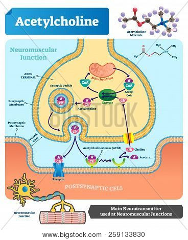 Acetylcholine Vector Illustration. Labeled Scheme With Structure Of Neurotransmitter, Neuromuscular
