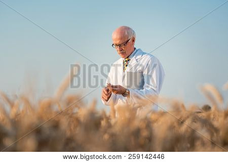 Researcher doing field test on new kinds of grain and wheat in outdoor research
