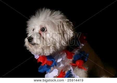 poster of Low Key shot of Fifi the Bichon Frise with a red white and blue hawaiian lei for the Forth of July isolated on Black