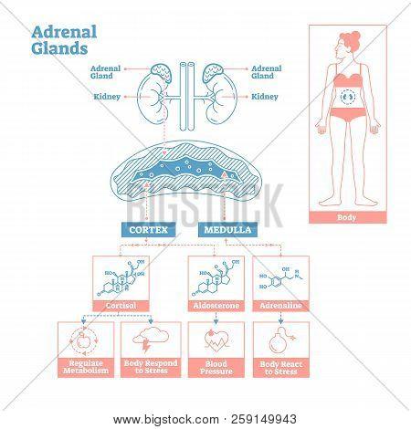 Adrenal Glands Of Endocrine System.medical Science Vector Illustration Diagram.biological Scheme Wit