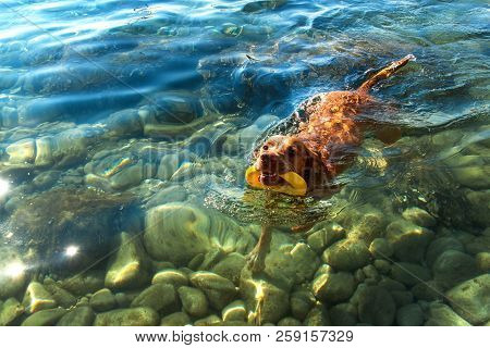 The Hungarian Pointer Vizsla Swims In The Sea. The Dog Plays In The Water. Dog Training. Summer Day