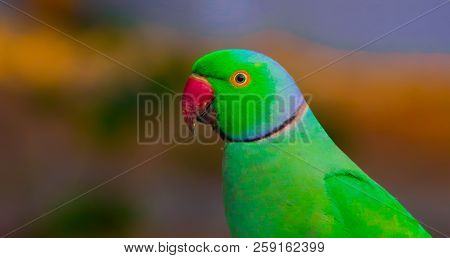A Portrait Of A Rose Ringed Parakeet Looking Very Curiously In Its Natural Habitat