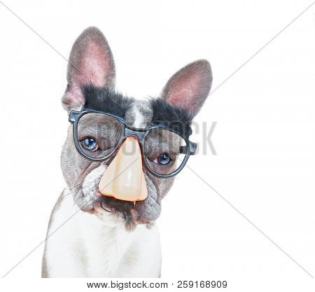 cute french bulldog wearing a big nose with a mustache and eyebrows mask on an isolated white background