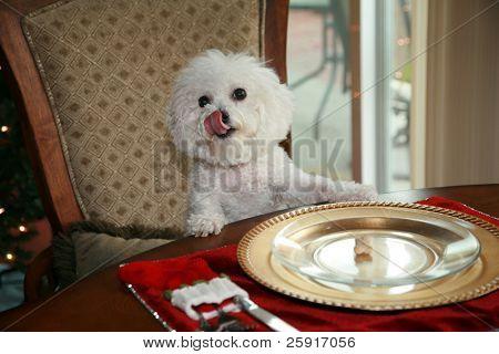 eine reine Rasse Bichon Frise, sitzt an der Raum-Esstisch und fordert ihr Weihnachtsessen
