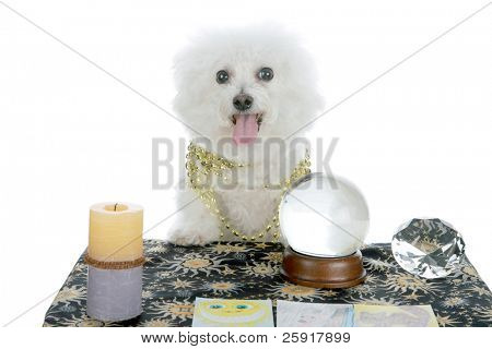 "a purebred Bichon Frise as a ""Pet Psychic"" or ""Psychic Pet"" or ""fortune teller"" isolated on white with room for your text"