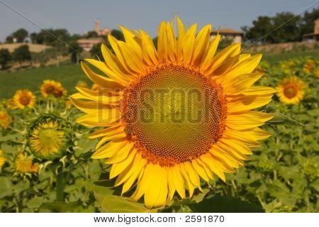 Sunflower In The Vilalge Field