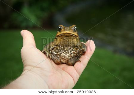 a beautiful cane toad
