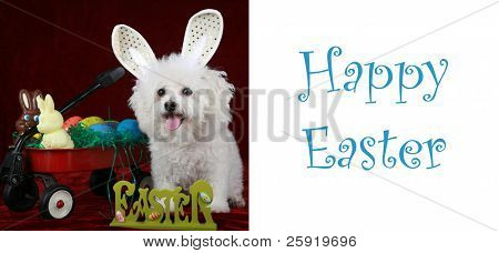 """a bichon frise poses as the """"easter bunny"""" on a greeting card concept with the words """"Happy Easter"""" in white. Text is easily removed and replaced by your own poster"""