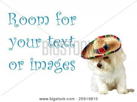Fifi a beautiful Bichon Frise celebrates Cinco de Mayo isolated on white with room for your text or images