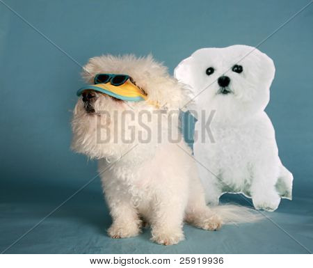 """a purebreed """"Bichon Frise"""" wears her """"sun visor"""" and """"sun glasses""""  on blue  with room for your text or images poster"""
