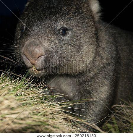 Wombat At Night
