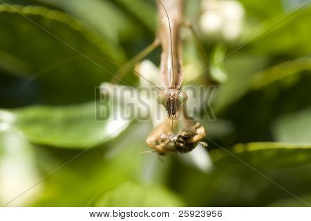 Macro portrait of a california preying mantis in his garden eating a honey bee with shallow depth of field