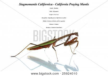california preying mantis. isolated on white