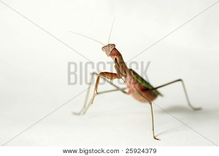 Macro shot very closeup view of a female california praying mantis also known as a Chinese Mantis. isolated on white show with very shallow depth of field f2.8
