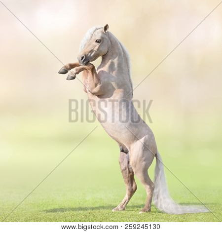 Palomino American Miniature Horse with long white tail rearing on grass.
