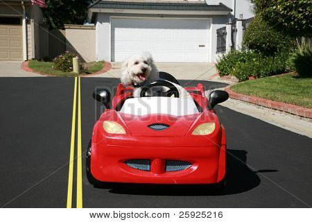 "Thor our new ""Maltipoo"" (maltese-poodle) mix breed dog, smiles as he enjoys a a ride in his Hot Rod Sports Car poster"