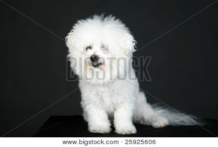 Fifi a pure white purebred bichon frise smiles as she models against a pure black background
