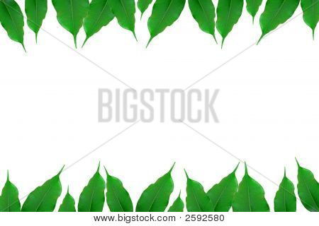 Green Ficus Leaf Isolated White.